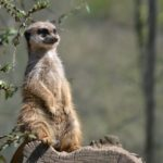 Considering an exotic pet? Interesting facts about Meerkats